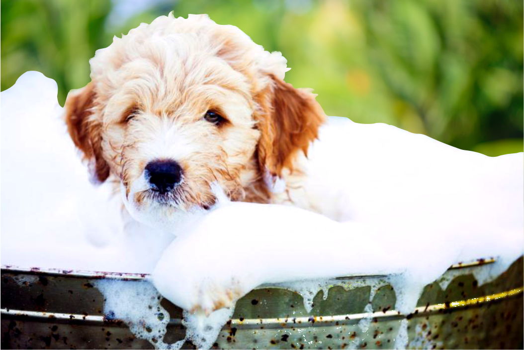 Best Shampoo for Goldendoodle Hairs Health